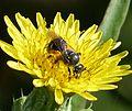 Lasioglossum female - Flickr - gailhampshire (2).jpg