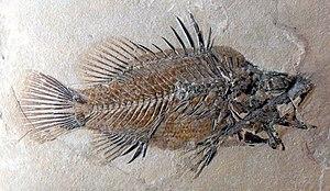 Bolca - Eolates gracilis, a fossil perch. (Museum für Naturkunde Berlin)