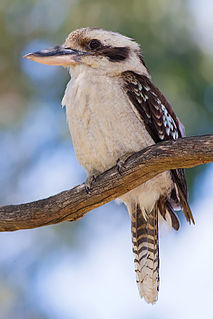 Laughing kookaburra species of carnivorous bird
