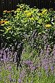 Lavendelbeet im Innenhof 12.jpg