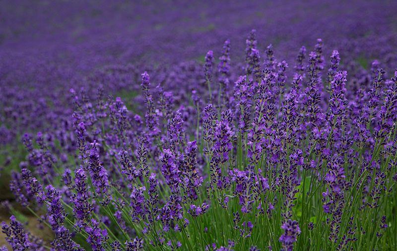 File:Lavender, Furano (7662399108).jpg