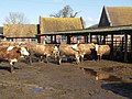 Lea Green Farm (dairy cattle) - geograph.org.uk - 356636.jpg