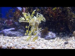 Податотека:Leafy seadragon (Phycodurus eques) eating.webm