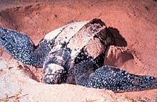 A leathrback sea turtle digging in the sand