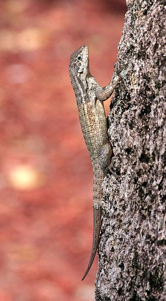 Curly-tailed lizards - Image: Leiocephalus carinatus armouri tree cool