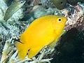 Lemon damsel (Pomacentrus moluccensis) (39851325753).jpg