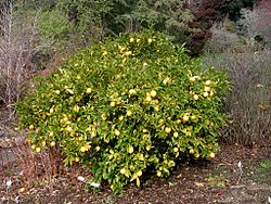 Lemon tree Berkeley.JPG