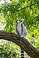 Lemur (36693254490).jpg