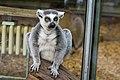 Lemur (37469119712).jpg