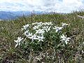 Leontopodium alpinum 070707.jpg