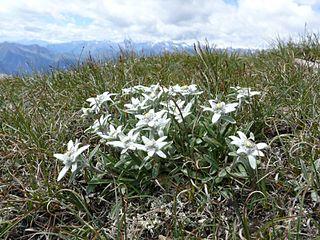 Plesnivec alpínsky - Leontopodium alpinum