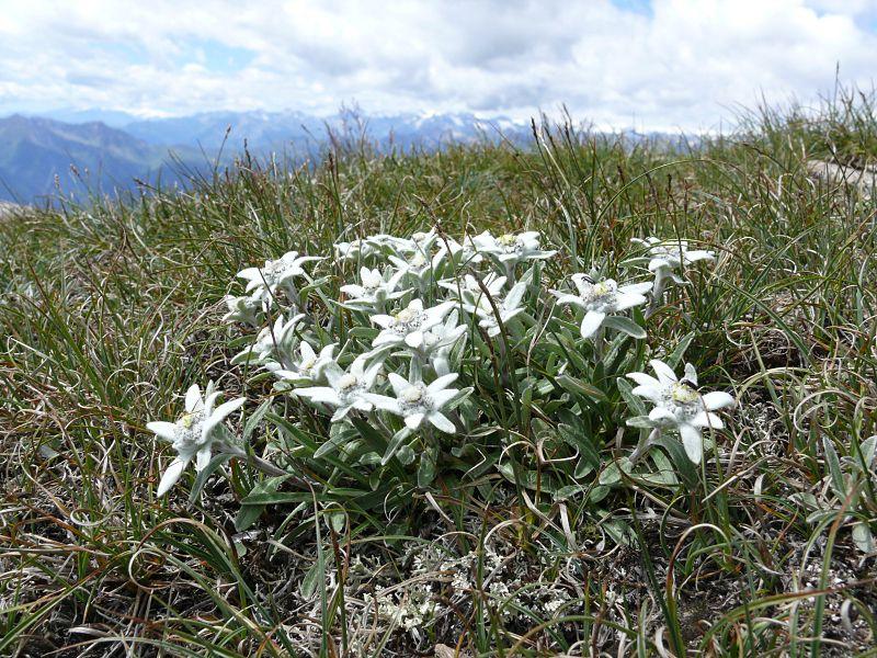 Edelweiss (Leontopodium alpinum).
