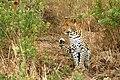 Leopard 005.jpg