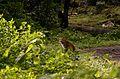 Leopard from anaimalai hills3 JEG2388.jpg