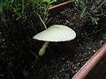 Lepiota cristata (2).jpg