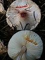 Lepiota roseifolia Murrill 605169.jpg