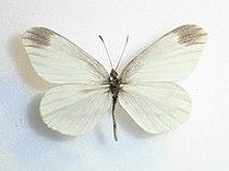 Leptideaamurensis.JPG