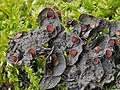 Leptogium corticola (Taylor) Tuck 971973.jpg