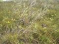 Leptospermum aff. scoparium J.R.Forst. and G.Forst. (AM AK294600-1).jpg