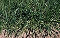 Les Plantes Cultivades. Cereals. Imatge 1822.jpg
