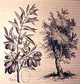 """Les merveilles de l'industrie, 1873 """"L'olivier"""". (4305583735).jpg"""