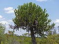 Lesser Candelabra-tree (Euphorbia cooperi) (12011228044).jpg