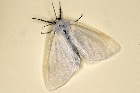 Leucoma salicis, Lodz(Poland)05(js).jpg