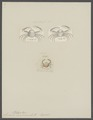 Leucosia scabriuscula - - Print - Iconographia Zoologica - Special Collections University of Amsterdam - UBAINV0274 096 07 0012.tif