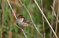 Levaillant's Cisticola, Cisticola tinniens at Marievale Nature Reserve, South Africa (24292949525).jpg