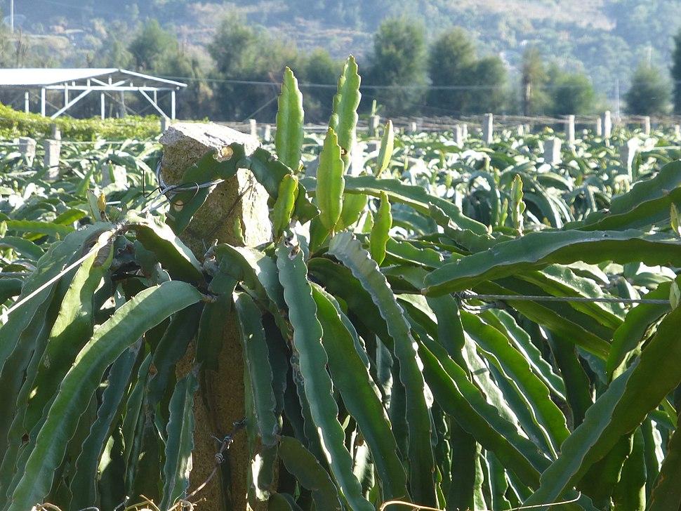 Lianjiang County - Dongdai Town - Yangguang Dragong Fruit Farm - P1510432
