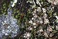 Lichen (14383332033).jpg