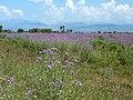 Lilac meadow - panoramio.jpg