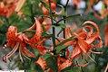 Lilium tigrinum Splendens 2zz.jpg