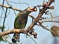 Lineated Barbet- Eating Goolar fig (Ficus racemosa)- Kolkata IMG 5810.jpg