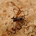 Linphya triangularis male Linyphiidae (38028996715).jpg
