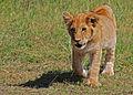 Lion cub, Masai Mara, Kenya.jpg