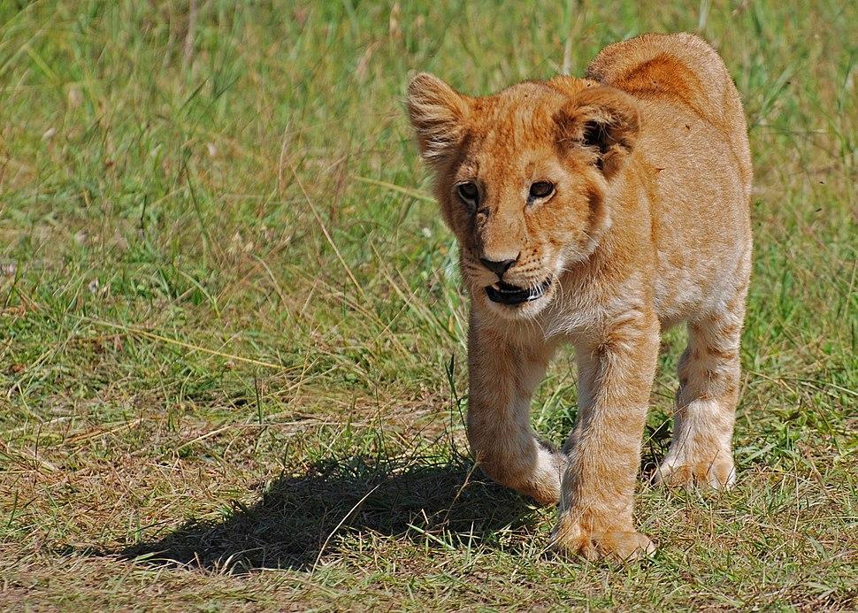 Lion cub, Masai Mara, Kenya