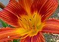 Lirio de un día - Azucena (Hemerocallis sp.) (14700919201).jpg