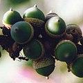 Lithocarpus collettii acorns.jpg