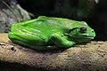 Litoria infrafrenata, White Lipped Tree Frog, Taronga.jpg
