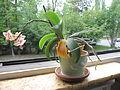 Little orchid D1108.jpg