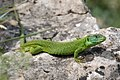 Lizzard male in spring at park Manerba del Garda Italy - panoramio.jpg