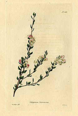 Loddiges 489 Polygonum frutescens drawn by W Miller.jpg