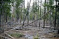 Lodgepole pine forest 1965.jpg
