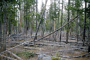 Yellowstone fires of 1988 - 1965: typical Yellowstone lodgepole pine forest.