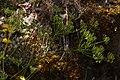 Lomatium hallii 4919.JPG