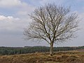 Lone tree northeast of the Hasley Inclosure, New Forest - geograph.org.uk - 157264.jpg