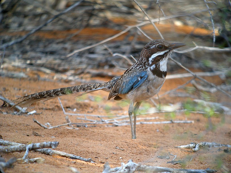 Bestand:Long-tailed Ground-roller, Mangily, Madagascar 3.jpg