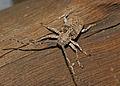 Longhorn Beetle (Crossotus stypticus aethiops) (17298032032).jpg