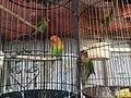 Lovebird, Jatinegara Market.jpg
